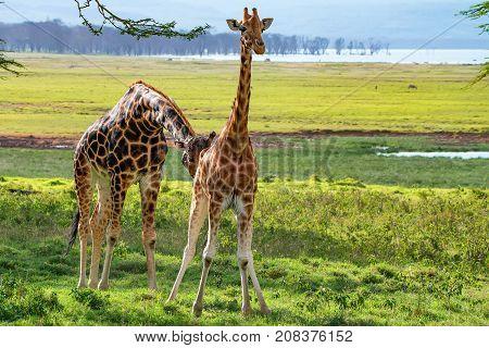 Savanna landscape with ugandan giraffes or Giraffa camelopardalis rothschildi