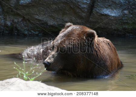 Beautiful brown bear bathing itself in the wild