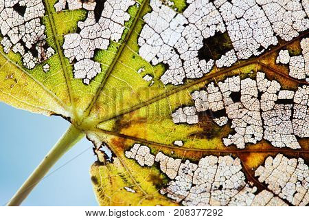 Natural variability colors change in nature. Beautiful autumn linden leaf skeleton textured pattern macro view. Green yellow brown color, transparent organic structure aging plant