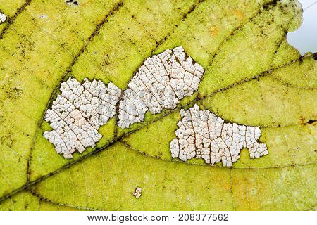 Natural variability autumn linden leaf texture skeleton pattern organic aging process, macro view photography.