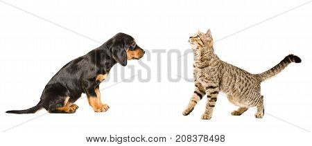 Cute puppy breed Slovakian Hound and curious cat Scottish Straight, isolated on white background