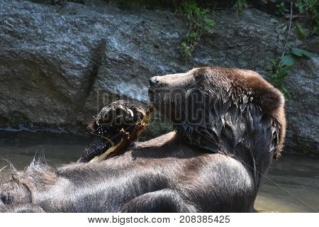 Wild kodiak grizzly playing in the water with a tree branch
