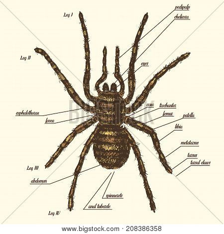 Illustration of a spider anatomy include all name of animal parts. Birdeater species in hand drawn or engraved style. arachnology.