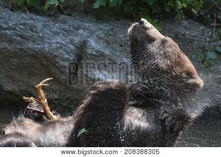 wild Peninsular grizzly shaking off water from it's fur