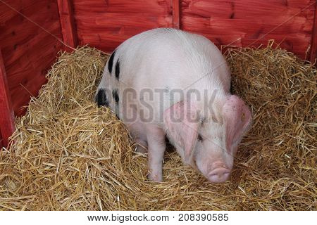 A Gloucester Old Spot Pig on Straw in a Wooden Pen.