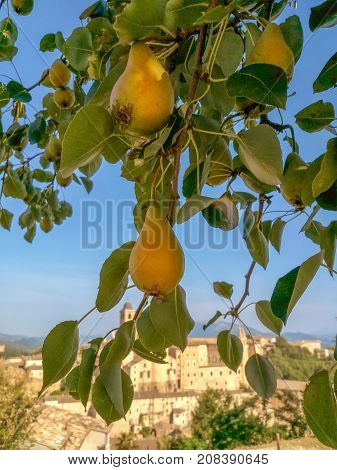 Pear tree opposite the Urbino city view