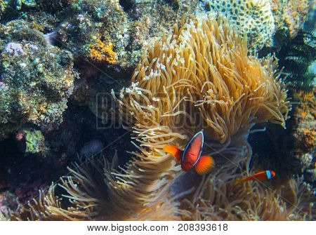 Clownfish family in actinia. Tropical seashore inhabitants underwater photo. Coral reef animal. Warm sea nature. Colorful sea fish and corals. Undersea view of marine life. Coral reef landscape