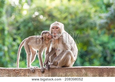 Portrait of young monkey kiss mother and sitting at the concrete fence