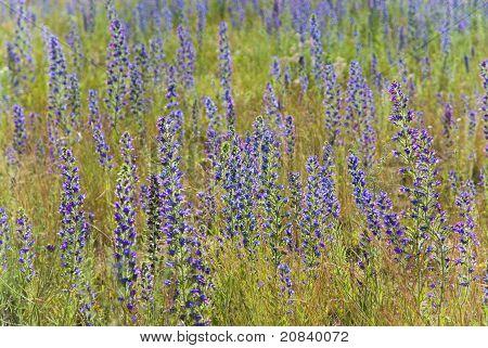 Blau Blumen auf sommerwiese