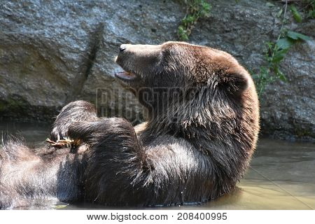 Wild silvertip grizzly bathing with its mouth open