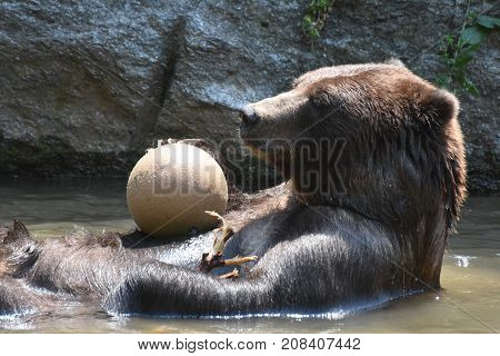 Silvertip grizzly playing with a ball in the water