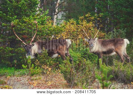 Group herd of caribou reindeers pasturing in Northern Finland near Norway border, Lapland
