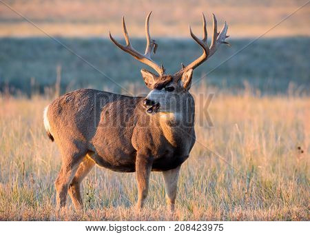 Mule Deer Buck standing in a field of tall grass on an cold Autumn morning at sunrise.