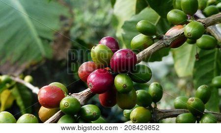 Una maceta de café con granos maduros, verdes y medio maduros