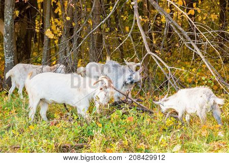 Goats Scratch Their Horns, Use Dry Branches.