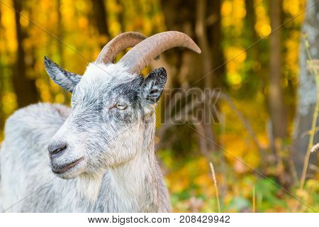 Muzzle Of A Horned Goat Closeup On The Background Of Autumn Forest