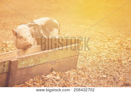 the pig put the muzzle on the wooden trough around the fallen leaves under the warm rays of the sun