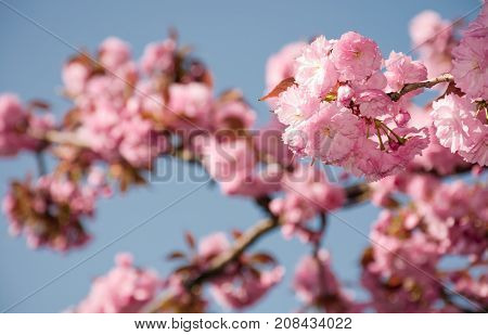 Pink Sakura Flowers On A Twig