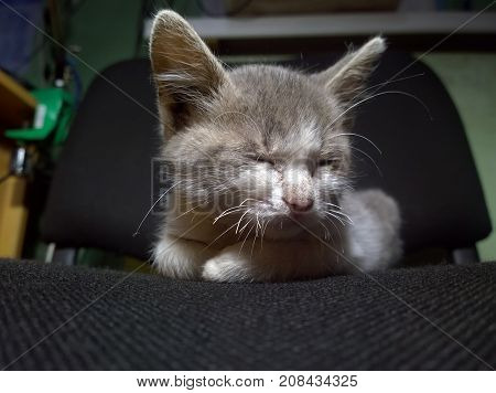 A small sleeping gray-white kitten closeup on a dark seat