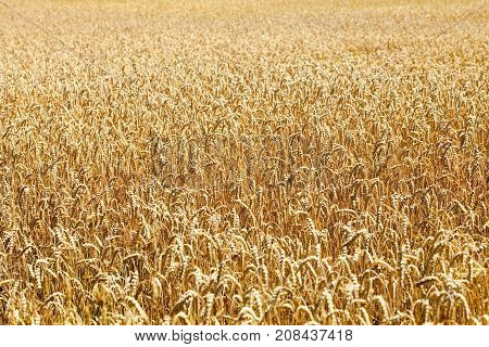 Landcsape with a Field of Wheat in Bohemia
