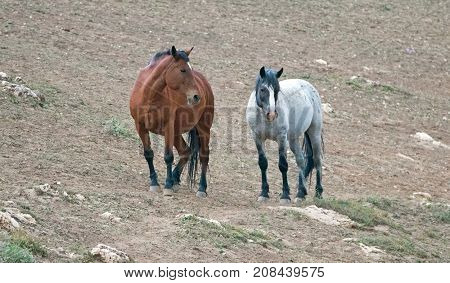 Wild Horses in Montana United States - Bay stallion and Blue Roan mare in the Pryor Mountains Wild Horse Range