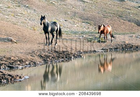 Wild Horses in Montana United States - Black stallion with his Dun mare following him at the water hole in the Pryor Mountains Wild Horse Range