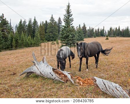 Wild Horses in Montana United States - Blue roan mare and Black stallion next to dead decaying log in the Pryor Mountains Wild Horse Range