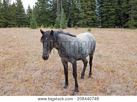 Wild Horse - Blue Roan Yearling mare in the Pryor Mountains Wild Horse Range in Montana United States