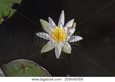 White Water Lily in a Quiet Pond in the Boundary Waters in Minnesota