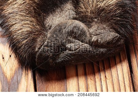 A Rattle Of Wild Boar Fur With Head, Hunting Trophy, On Wooden Floor. Close Up.concept Hunters Troph