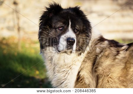 Fluffy Caucasian shepherd dog in the yard. Caucasian sheepdog in autumn time.Adult Caucasian Shepherd dog.