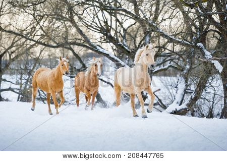 Three yelloy palomino horses running gallop in winter forest