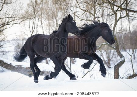Two black horses running gallop in winter forest