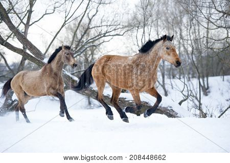 Two bay horses running gallop in winter forest