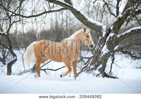 One yelloy horse running gallop in winter forest