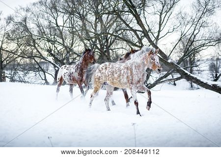 Three Appaloosa horses running gallop in winter forest