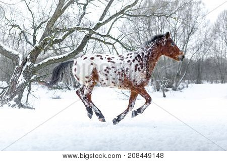 One Appaloosa horse running gallop in winter forest
