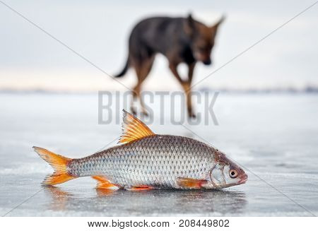 The hungry dog and fresh fish roach on the ice