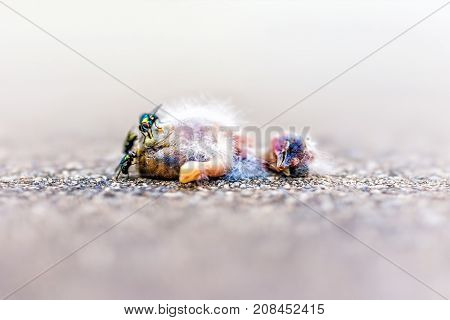 Macro closeup of dead baby sparrow bird chick decomposing with green flies and ants eating it