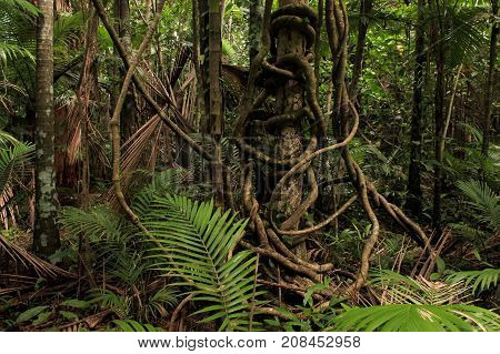 twisted vines in the rainforest, in far north Queensland, Australia