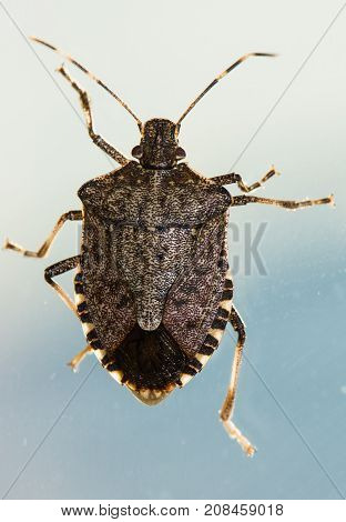 Looking down on a Brown marmorated Stink bug, Halyomorpha halys.  He is climbing on a pane of glass with the sky as a background and the sun illuminating his limbs and signature stripped antenna.