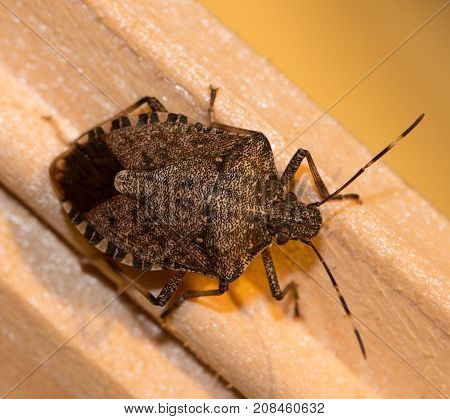 The Brown marmorated Stink Bug, Halyomorpha halys, crawling on a piece of wood.