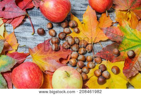 Autumn colored maple leaves apples and hazelnuts scattered on the old wooden board