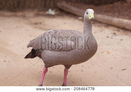 Cape Barren goose in the Zoo Australia.