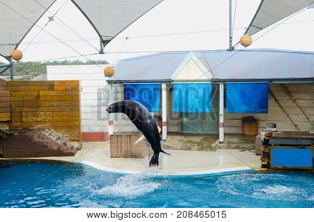 Acrobatic seal jump of Sea lion on a water show trying get the ball.