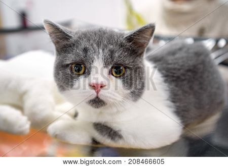 Scottish Fold cat with Straight ears close-up on blurred background