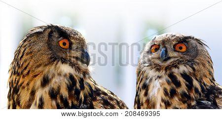 European eagle owl ( Bubo Bubo ). Wildlife photo.
