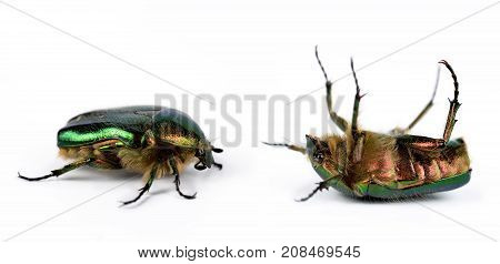Rose chafer (Cetonia Aurata) isolated on white background. poster