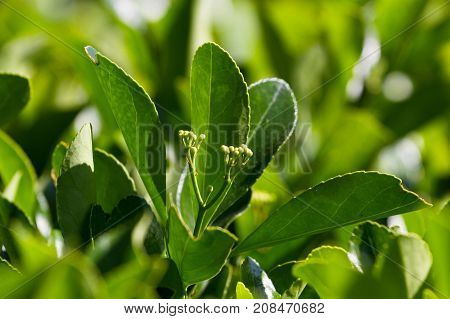 Macro photo leaves of Eounimus japonicus. Japanese spindle