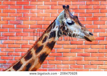 Giraffe Head On Brick Background